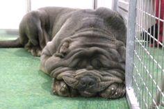 full grown neopolitan mastiff...so hilarious