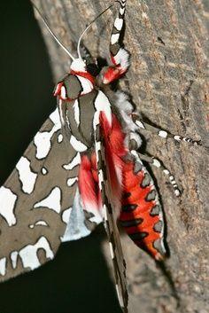 Tiger moth of some sort?