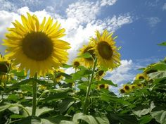JSPuzzles - Play free Jigsaw puzzles online - Flowers in the sun