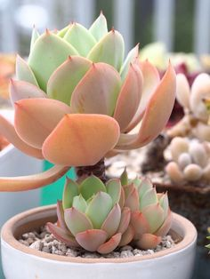 Echeveria 'Peach Pride' An especially brightly colored variety.