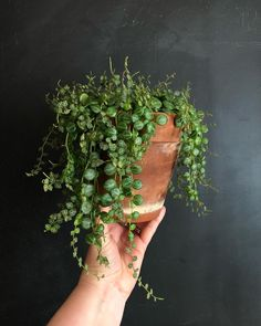 Fifteen Gardening Recommendations On How To Get A Great Backyard Garden Devoid Of Too Much Time Expended On Gardening Peperomia Prostrata Ornamental Plants, Foliage Plants, Indoor Garden, Garden Plants, Planting Succulents, Planting Flowers, Plant Aesthetic, Plants Are Friends, Perfect Plants