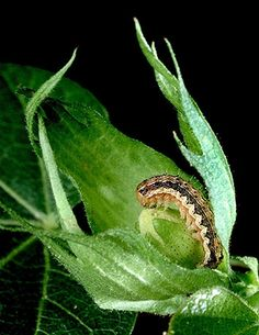 Costly crop pests like this cotton bollworm may soon encounter a new biological control-the celery looper virus-being tested by the Agricultural Research Service and a commercial laboratory.