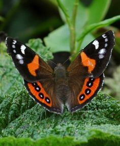 The New Zealand Red Admiral is a butterfly that is endemic to New Zealand. The Māori name is kahukura which means red cloak.