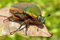"""June Bugs...yep, it's a Southern Thang!  You know the saying """"Like a duck on a June bug"""", well, here's your June bug."""