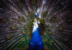 Dandy - Male peacock, zoo of Yerevan, Armenia