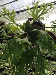 Siam Exotica Plantas de Platycerium ridleyi