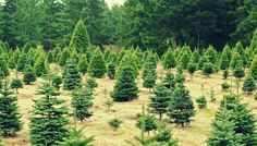 16 places to cut your own Christmas tree around Rochester, NY