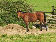 A horse in a Cornish.