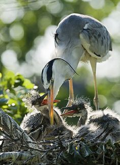 Beak to beak--heron with chicks