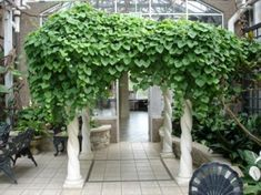 With its perpetual blooms, the Aristilochia Vine is a visitor favorite that richly drapes the pergola when entering the Victorian Garden Parlor.