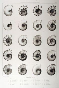 Illustrations conchyliologiques ou description et figures de toutes les coquilles connues vivantes et fossiles, classées suivant le système de Lamarck modifié d'après les progrès de la science et comprenant les genres nouveaux et les espèces rècemment découvertes. (1842)  Jean-Charles Chenu