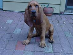 Pictures of Bloodhound Dog Breed