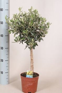 Gift for christmas Thick stem 45-50cm, but mature beautiful olive tree special from the Holy Land of Israel Jerusalem Best4garden http://www.amazon.co.uk/dp/B00ABYCSZK/ref=cm_sw_r_pi_dp_HCcqwb05CG4DP