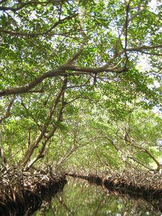 The mangroves of Oakridge, Roatan, Honduras. Photo taken by Tony Rosado