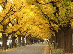 If you ever decide to plant a tree -- plant a ginkgo! One of the most beautiful of trees. Be sure to avoid the female ginkgo, if you choose to plant a ginkgo, because the female makes a stinky tree. Maidenhair Tree, Tree Tunnel, Tree Leaves, Green Garden, Autumn Trees, Autumn Leaves, Amazing Destinations, Trees To Plant, Outdoor Gardens