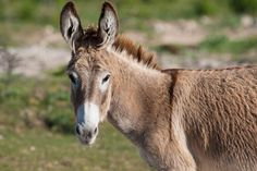 Donkey, Grand Turk, Turks and Caicos Islands.