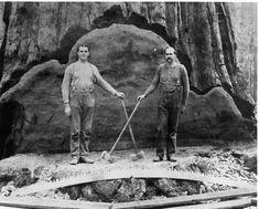 Symmetry. Two unknown loggers on first cut of giant tree in Sugar Pine…