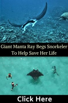 It had been injured by fishing hooks and went to a diver it knew for help. If local tour guide Jake Wilton hadn't been on hand to help, the injuries could have led to infection, blindness, and death. Animals And Pets, Cute Animals, Planet Ocean, Local Tour, Manta Ray, Save Her, Pet Birds, Animal Rescue, Trust