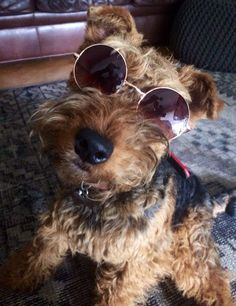 Cool dude Welsh Terrier Bully Terrier, Airedale Terrier, Terriers, Welch Terrier, Little Dogs, Welsh, Mans Best Friend, Puppy Love, Best Dogs
