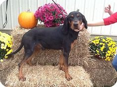 Black & Tan Coonhound M named Harry in Harrisville, WV @ Ritchie County Humane Society
