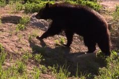 Yosemite Nature Notes®: California Grizzly