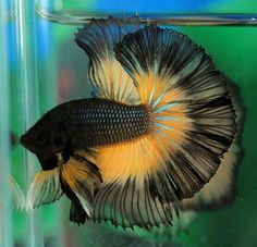 808 Mustard black and yellow BF HM male