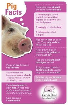 Interesting facts about pigs infographic. Learn more about MOFA Global's importa. - Interesting facts about pigs infographic. Learn more about MOFA Global's important role in the po - Pig Showing, Pot Belly Pigs, Pig Pen, Teacup Pigs, Mini Pigs, Baby Pigs, Baby Goats, Pig Farming, Piglets