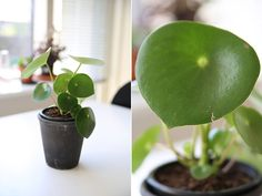 Peperomia Polybotrya, eller Raindrop, er en Pilea-lignende stueplante med smukke dråbeformede blade der er nem at holde liv i.