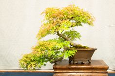 Japanese maple - 35 years