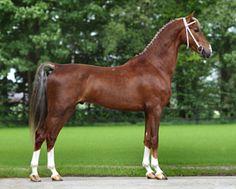 KWPN Dutch Harness Horse stallion, Fantijn STB.