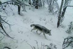White Wolf : Obama bans sport hunting of wolves from helicopters Wolf Spirit, Spirit Animal, Animals And Pets, Baby Animals, Wolf Life, Snow Forest, Animal Species, White Wolf, Animal Rights