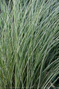 Miscanthus sinensis 'Morning Light' - Morning Light miscanthus grass; planted 2007.