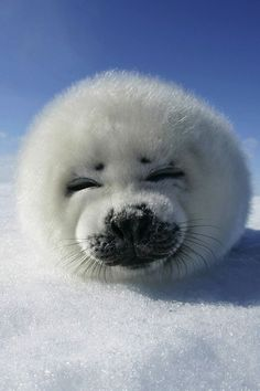 Harp Seal pup. Don't understand how anyone could kill something this cute. : (