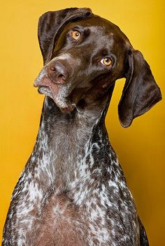 The thinking master's kind of dog. GSP
