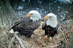 A Pair of Eagles!!! Bebe'!!! Awesome Eagle photo!!!