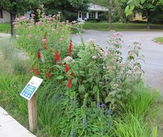 Rain Garden in Lawn Extension by Creating Sustainable Landscapes in Michigan. Swamp Milkweed, Cardinal Flower, Joe Pye Weed, Great Blue Lobelia, Rattlesnake Master and some grasses and sedges. Sign is helpful. Swamp Milkweed, Prairie Garden, Wayne County, Rain Garden, Garden Pictures, Environmental Science, Native Plants, Sustainability, Lawn