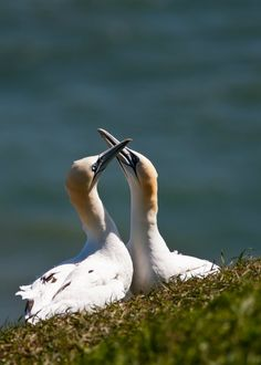 Much like the albatross pairs, gannets will shake their heads and rub beaks with one another as part of their courtship.  Read more: http://www.mnn.com/earth-matters/animals/blogs/16-beautiful-bird-courtship-displays#ixzz3DDTxSwEd