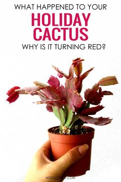 What's happening to your Christmas Cactus, Thanksgiving Cactus or Easter Cactus? Is it dropping flower buds? Get fixes to all commong Holiday Cactus problems. Christmas Cactus Plant, Easter Cactus, Cactus Leaves, Cactus Plants, Cacti Garden, Cactus Art, Air Plants, Buy Indoor Plants, Indoor Gardening