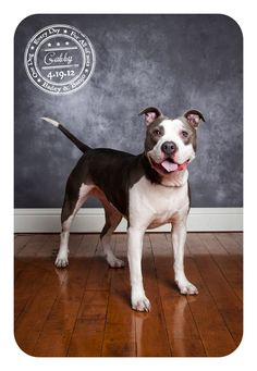 Gabby - April 19 - Rescued Pitbull dog-a-day-for-canine-cancer-bailey-banjo