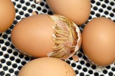 How to Hatch Chicken Eggs at Home Without an Incubator