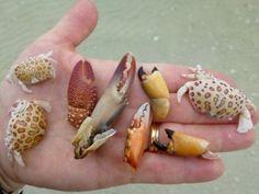 crabs-southwest-florida-300x225.jpg 300×225 pixels