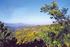 Le mimosa dans les collines