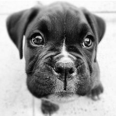GAH! boxer puppy squishy face adore!!!!!