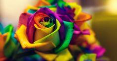 flowers closeup colorful macro rose hd wallpaper
