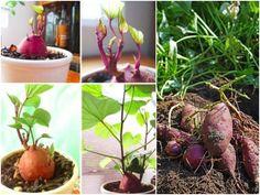 Süßkartoffel-Anbau: Wie und wann pflanzt man Süßkartoffeln? Mit diesen Tipps gelingt Süßkartoffeln anbauen im Garten oder auf dem Balkon.