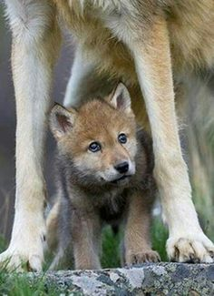 Read Lobos from the story Imagenes Para Tus Novelas by Cladia_Diaz (Claudia_Diaz) with reads. Animals And Pets, Baby Animals, Cute Animals, Strange Animals, Wolf Pictures, Animal Pictures, Beautiful Creatures, Animals Beautiful, Tier Wolf