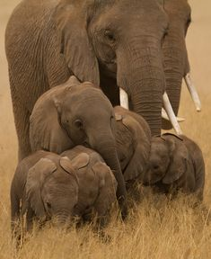 Elephant Family - World Of Elephants #animals #nature #wild #wildlife #elephant #calf #cub #ivory #tusks #africa #african #asia #asian #wilderness #desert #botswana #tundra #savannah #kruger #national_park #herd #photography