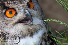 Barred Owl, Birds, Animals, Animales, Animaux, Bird, Animal, Animais