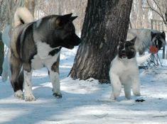 Akita, the most beautiful dog!
