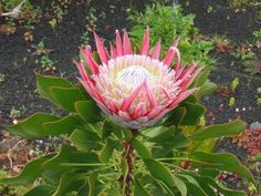 5 Seeds w/Instructions - Smoke primer included King Protea - Protea cynaroides. The King protea was originally from the Cape Town area of South Afr Unusual Flowers, Rare Flowers, Amazing Flowers, Wild Flowers, Rare Plants, Exotic Plants, Sugar Bush, Home Garden Plants, Planting Seeds